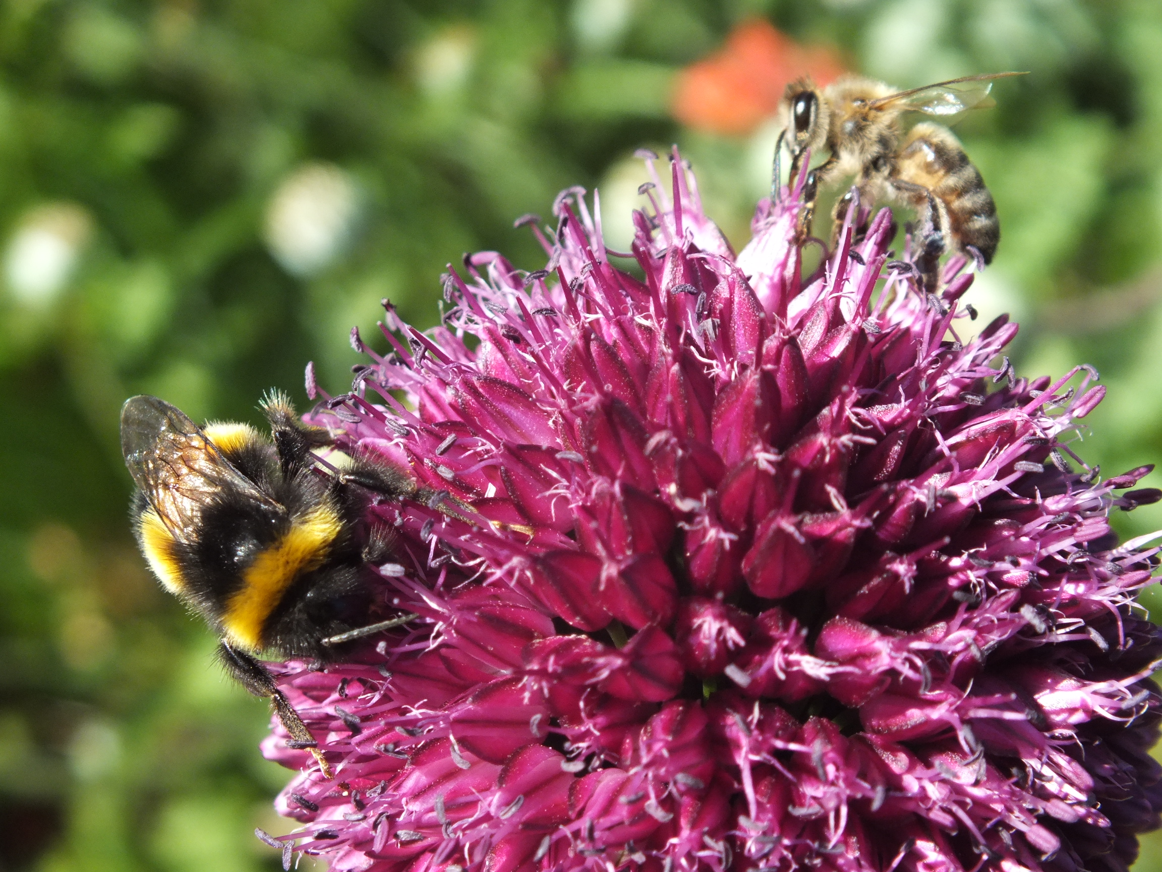 A Honey Bee and a Bumble Bee share a purple flower